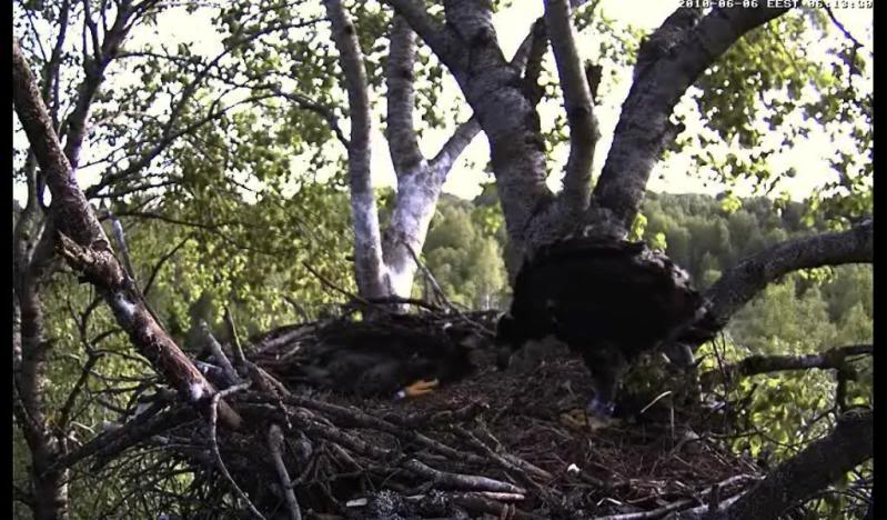 White-tailed Eagle Camera Lovers - Page 10 Pysti