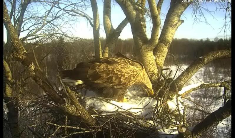 White-tailed Eagle Camera Lovers - Page 2 S2tibksi