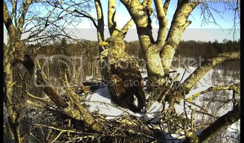 White-tailed Eagle Camera Lovers - Page 2 Sabamuster