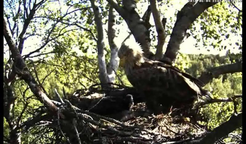 White-tailed Eagle Camera Lovers - Page 10 Valvabund