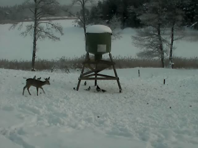 Wild Pig Camera Lovers/ ADDRESS CHANGED TO SWEDISH STREAMING CAM - Page 6 Deer2010-01-1211-24-32-57o