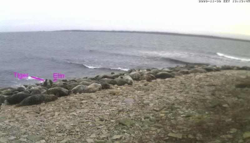 Grey Seal webcam - Page 5 Vaidlevad2009-11-3013-20-14-89