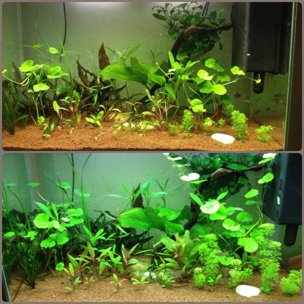 Mon 125l type amazonien avec quelques new plantes ! 6A432FCF-2524-42C7-91F5-D069F2E89958_zpspnzk0slu