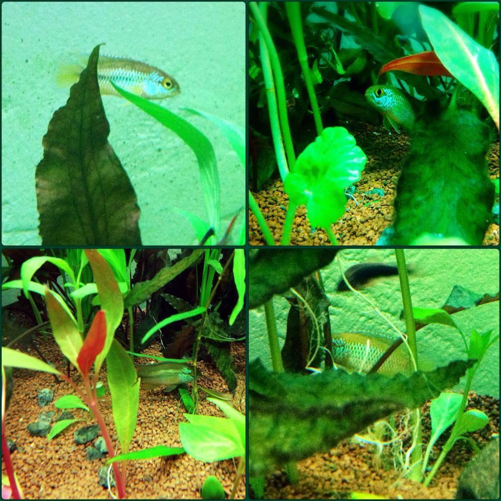 Mon 125l type amazonien avec quelques new plantes ! C66BA936-DF8F-4F72-9260-5320E1B5D85B_zpsieee67kj