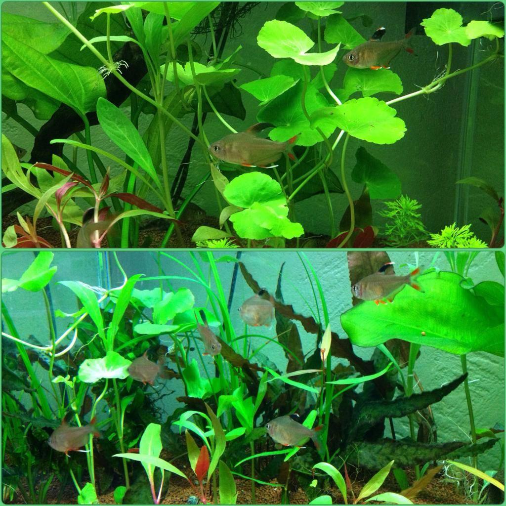 Mon 125l type amazonien avec quelques new plantes ! E70E3921-C098-4249-BBFD-6F7FD0C813AF_zpsx6xaybzv
