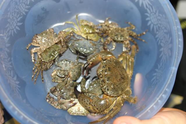 divers crabes de la méditerranée IMG_5648