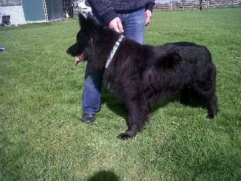 Mystical MAGIC - stunning GSD x Collie is looking for his forever friend IMG00447-20120411-15181