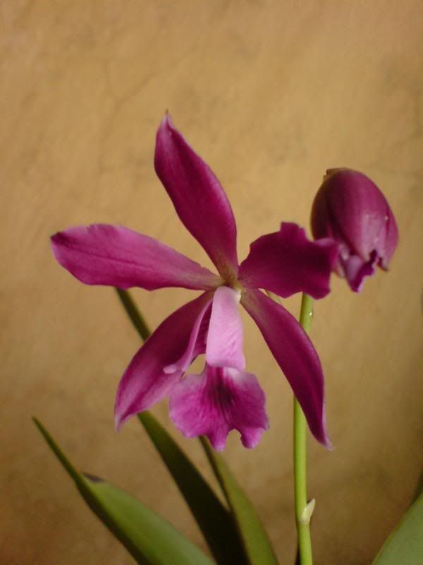 Identificare orhidee - Pagina 3 DSC02447_zps9efaf02a