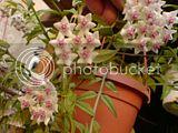 Flori de Hoya - Pagina 12 Th_DSC01743_zps886a9636