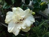Hibiscus rosa sinensis - Pagina 4 Th_CopyofDSC00367