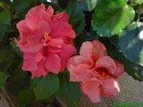 Hibiscus rosa sinensis - Pagina 4 Th_DSC00268