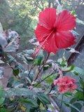 Hibiscus rosa sinensis Th_DSC01730