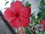 Hibiscus rosa sinensis Th_DSC01732
