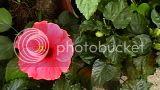 Hibiscus rosa sinensis - Pagina 2 Th_IMGA0008
