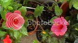 Hibiscus rosa sinensis - Pagina 2 Th_IMGA0009