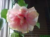 Hibiscus rosa sinensis Th_DSC01782