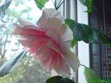 Hibiscus rosa sinensis Th_DSC01784