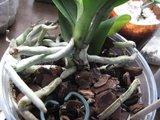 Despre orhideele noastre - discutii - Pagina 2 Th_IMG_6086