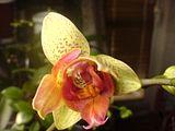 Despre orhideele noastre - discutii Th_DSC00717_zpsfb93cf5d