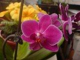 Despre orhideele noastre - discutii - Pagina 2 Th_DSC00726_zpsfda1eab2