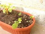 Albizia-Arbre de soie-    entretien,plantation,floraison Th_DSC01378_zps98f5345e