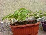 Albizia-Arbre de soie-    entretien,plantation,floraison Th_DSC01554_zpsdb8f96d8