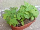 Albizia-Arbre de soie-    entretien,plantation,floraison Th_DSC01564_zps6b281e3b