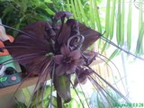 Despre orhideele noastre - discutii - Pagina 7 Th_DSC01665