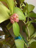 Hoya cu flori urat mirositoare Th_DSC01700_zps70d6b7c2