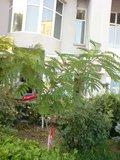 Albizia-Arbre de soie-    entretien,plantation,floraison Th_DSC01735_zps6f509edf