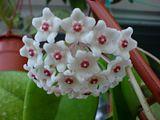 Flori de Hoya - Pagina 12 Th_DSC01805_zps956f280f