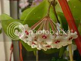 Flori de Hoya - Pagina 12 Th_DSC01806_zps3a01b807