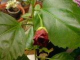 Hibiscus rosa sinensis - Pagina 9 Th_DSC01807_zps9f944b90