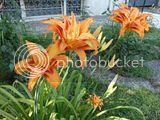 Discutii despre diverse plante - Pagina 2 Th_DSC01852_zps92102883