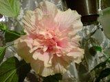 Hibiscus rosa sinensis - Pagina 10 Th_DSC01864_zpsde7105c3