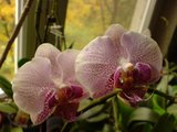 Despre orhideele noastre - discutii - Pagina 5 Th_DSC02173_zps5d75157b