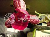Despre orhideele noastre - discutii - Pagina 11 Th_DSC02897_zpsb8c278fb