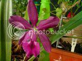 Despre orhideele noastre - discutii - Pagina 11 Th_DSC02907_zps17d5d50b