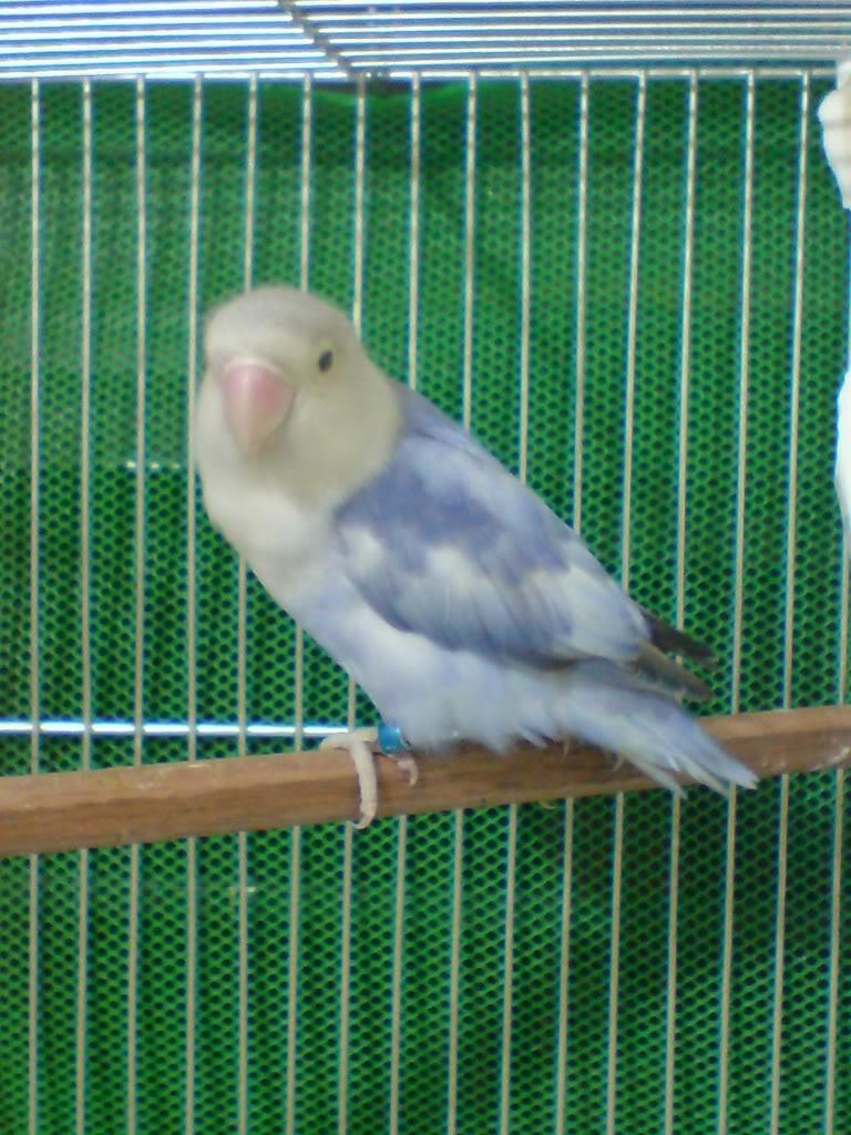 Post your favorite birds - Page 4 Heavydompiedvio2