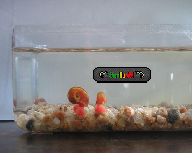 Consejos para un caracolario de agua dulce^^ Planorbirojo-1