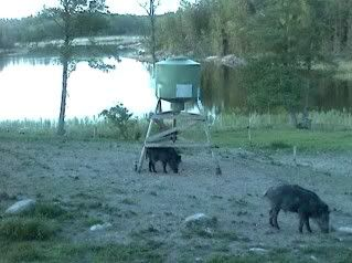 Wild Pig Camera Lovers/ ADDRESS CHANGED TO SWEDISH STREAMING CAM - Page 3 2009-05-25_punypigs