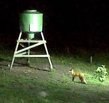 Wild Pig Camera Lovers/ ADDRESS CHANGED TO SWEDISH STREAMING CAM - Page 17 2009-09-04_foxy3