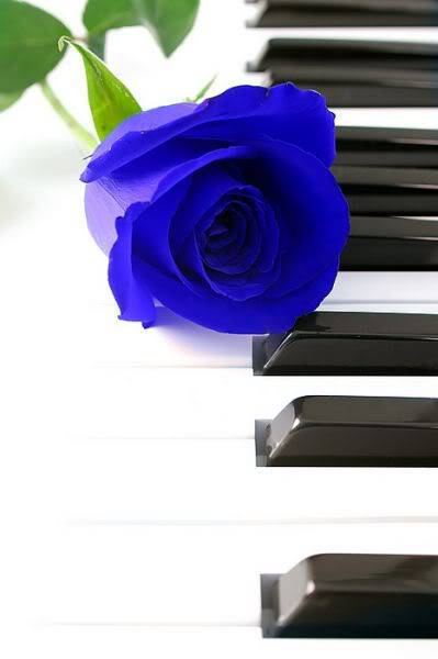 Blue Rose Pictures, Images and Photos