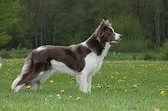 collie - Kenthy du Clos Chardonneret - Border Collie Red/White 184798_1800433127319_1134532073_2127134_4705681_n