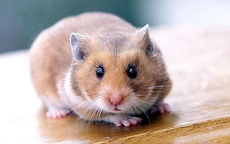 Woman dials 999 to report missing hamster Hamster