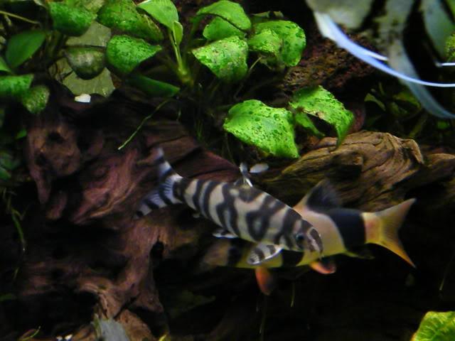 mes poissons (charlotte) 2009_0718poissons0223