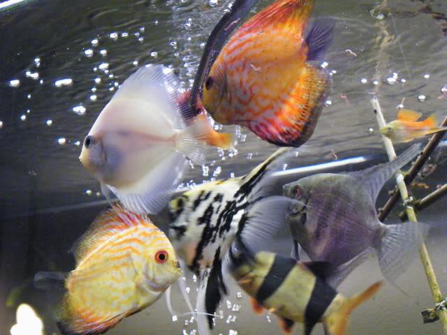 erpetoichthys calabaricus,discus et scalaires 2009_0810maxipoissons0076