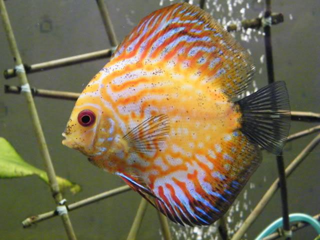 mes poissons (charlotte) 2009_0810maxipoissons0081