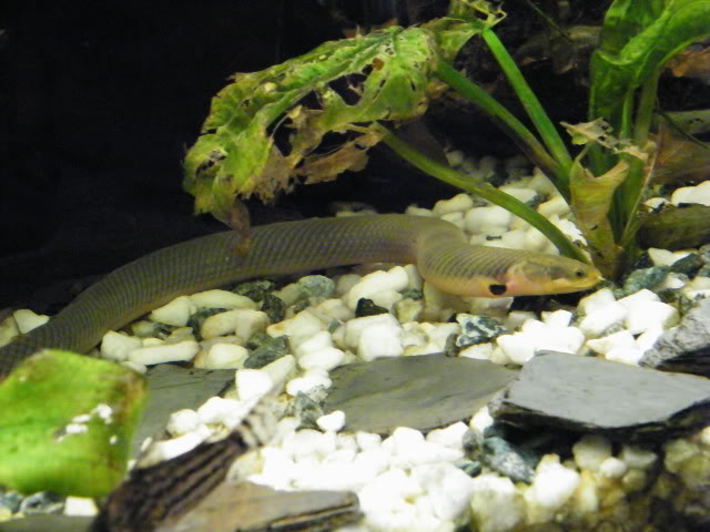 Erpetoichthys calabaricus 2009_0810maxipoissons0085
