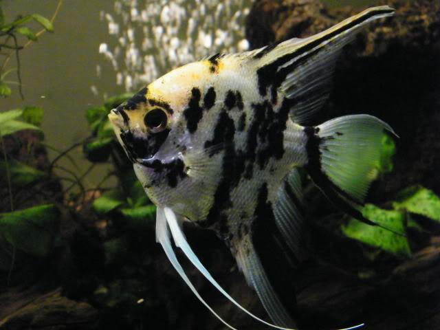 mes poissons (charlotte) 2009_0810maxipoissons0086